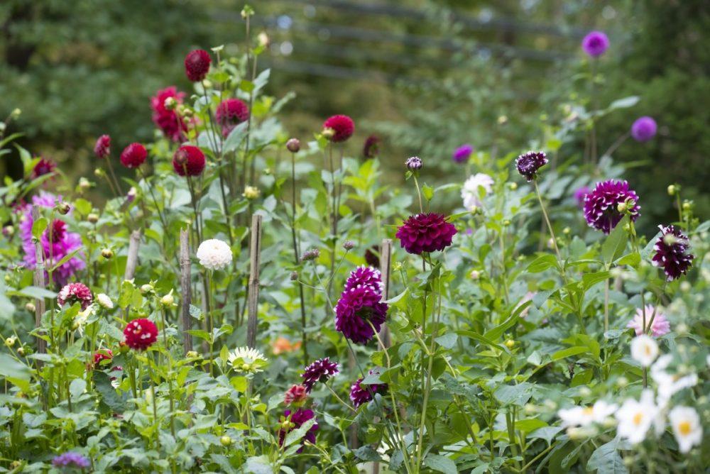 dahlia garden