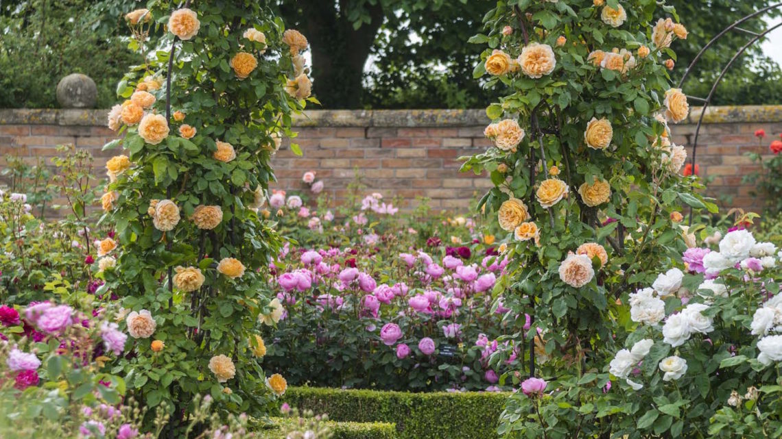 David Austin roses, Rosa 'Crown Princess Margareta'