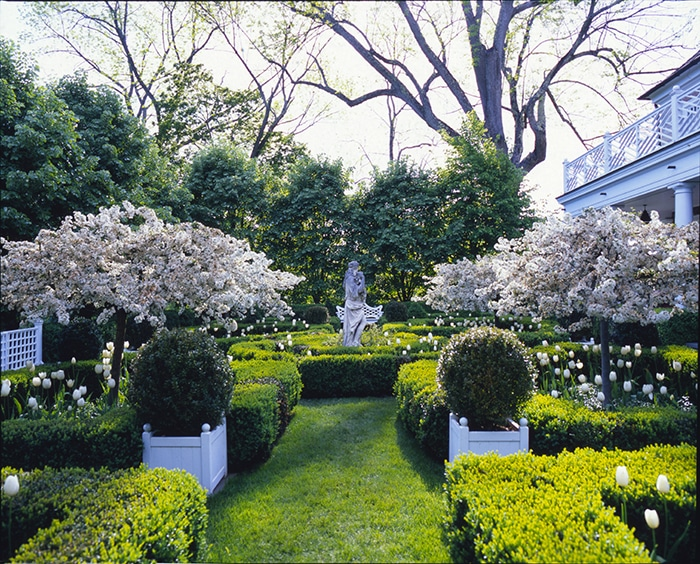 Formal garden in early spring with flowering trees and white tulips