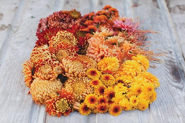 chrysanthemum flower variety