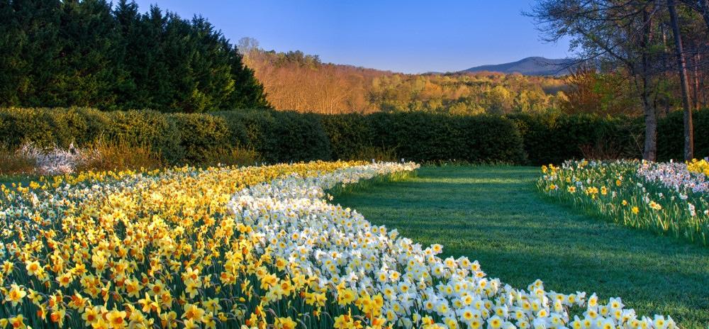 gibbs gardens, daffodils