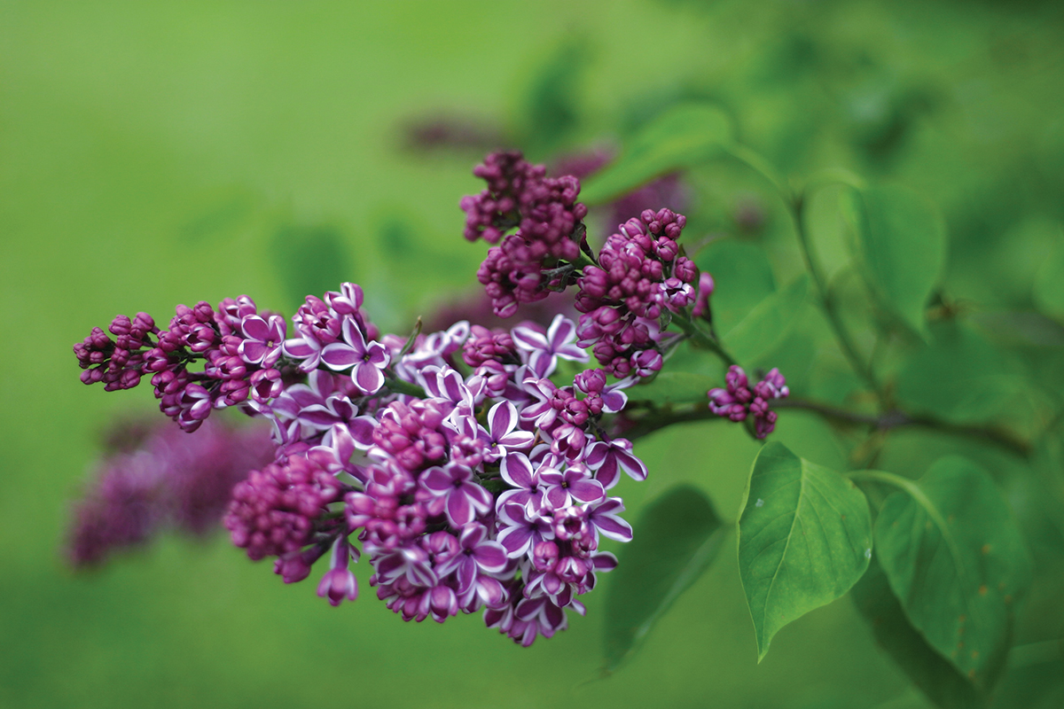 6 Facts About Lilacs Flower Magazine A Luxury