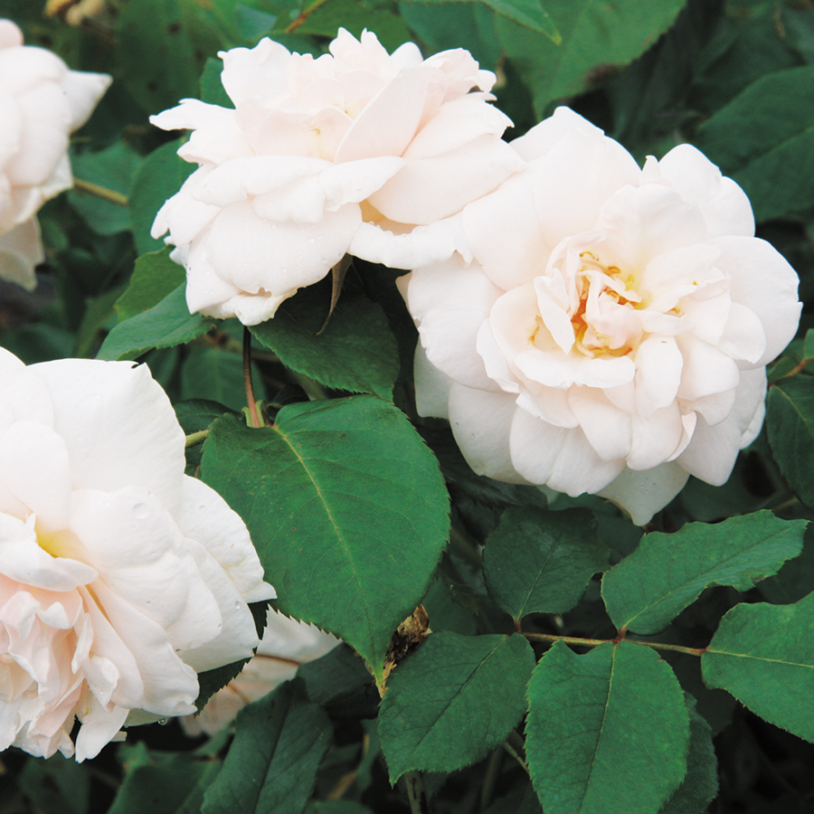 Our 16 Favorite Fragrant Roses Flower Magazine Vintage Story English Rose Pink Classification Climbing Bred By Antique Emporium Color Pale And Creamy White