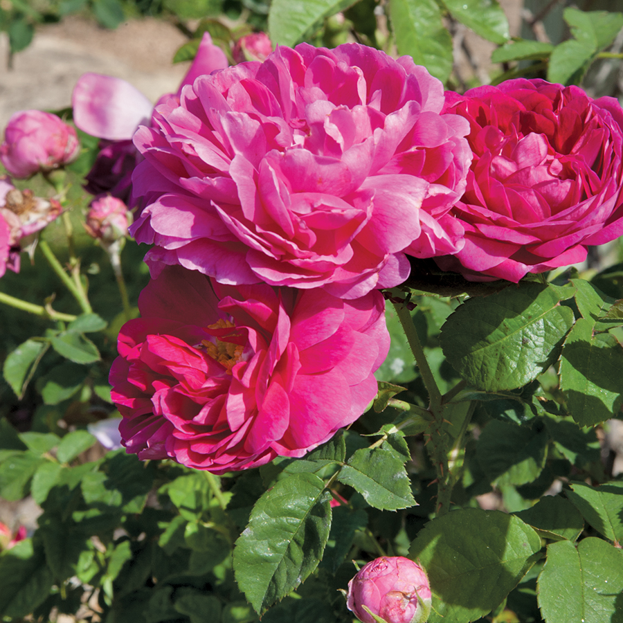 45 Old Rose Broadcloth By The Yard