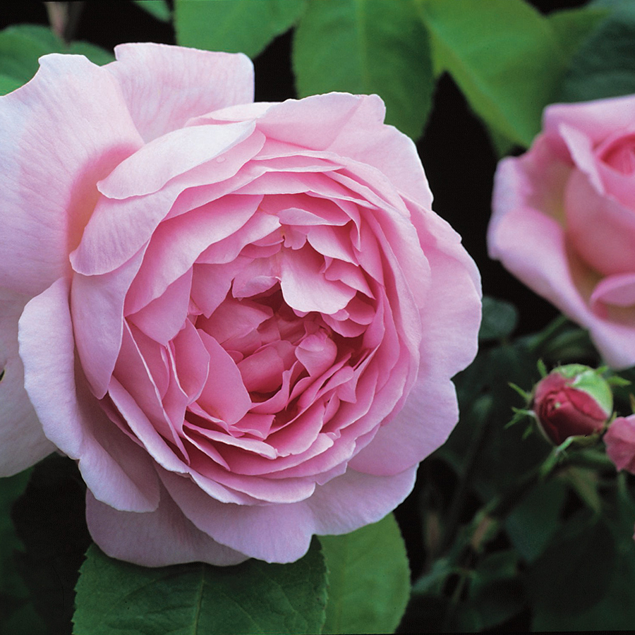 Clification English Shrub Rose Bred By David Austin Color Deep Pink What S In A Name One Of The First Roses