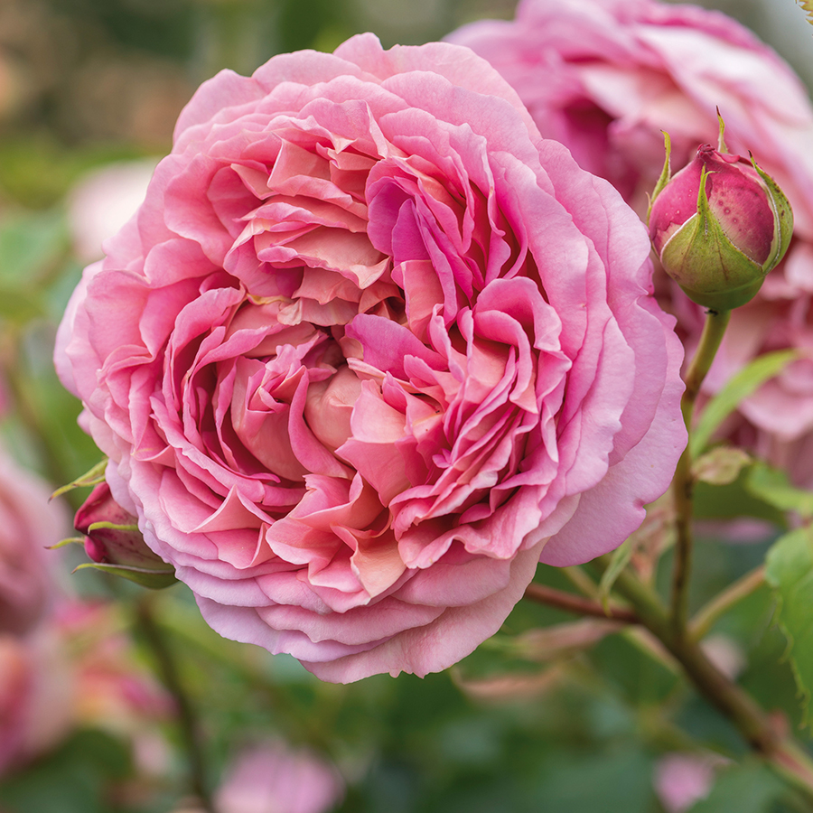 Our 16 Favorite Fragrant Roses Flower Magazine