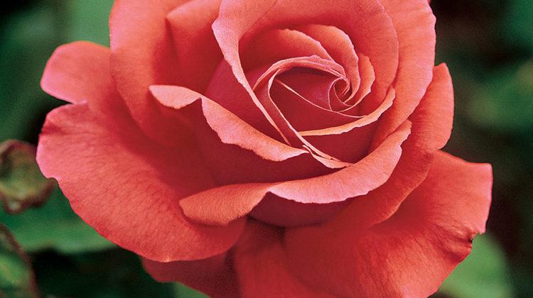 fragrant rose varieties, fragrant roses