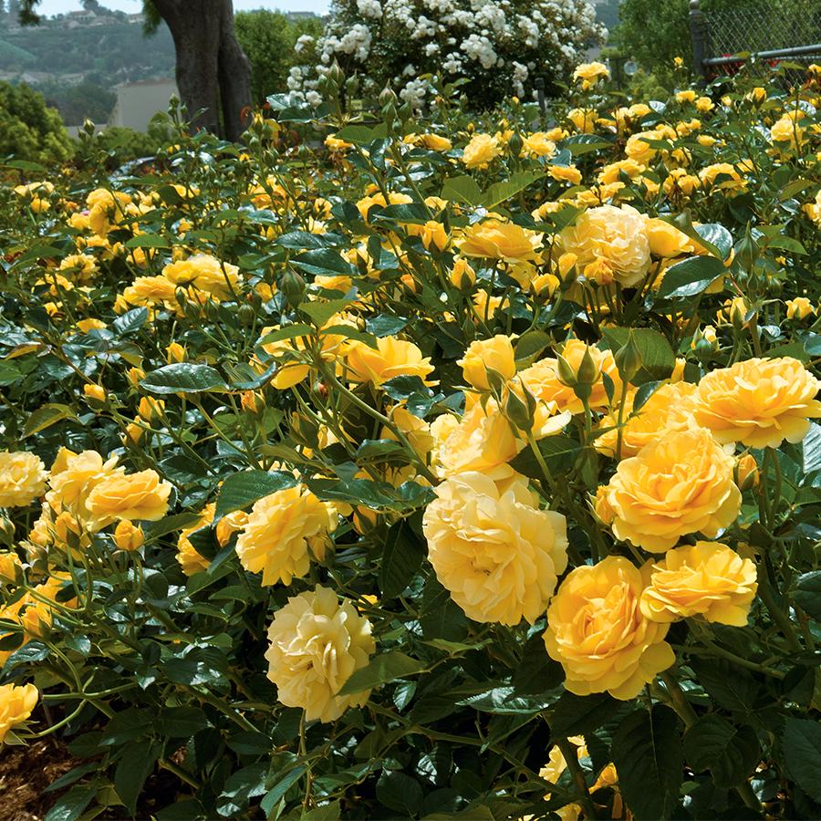 Our 16 Favorite Fragrant Roses Flower Magazine