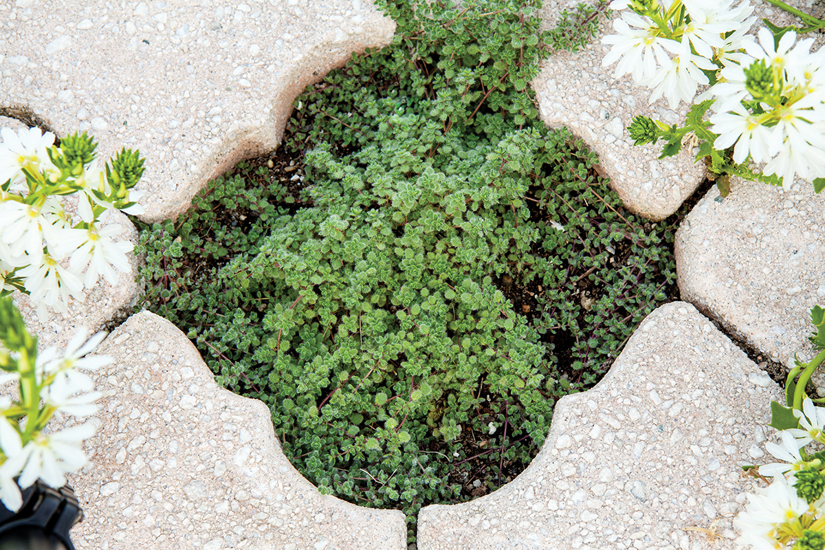 A petite ground cover thrives in an open space created by the paver design