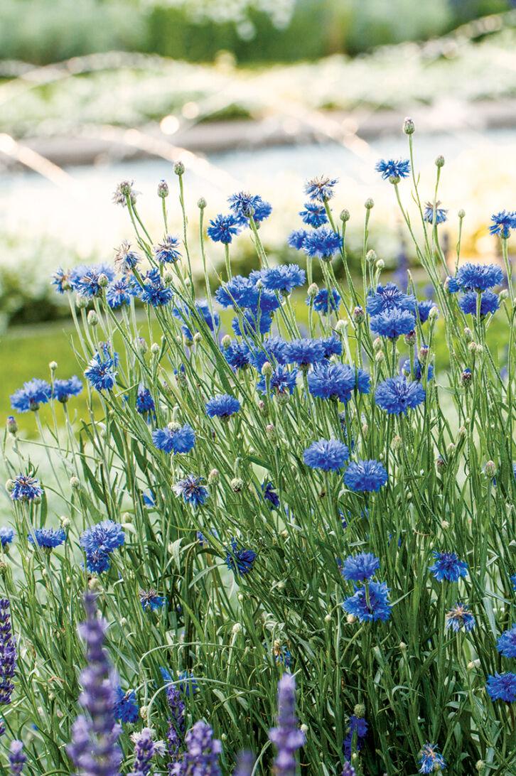 blue flowers bloom in a garden bed