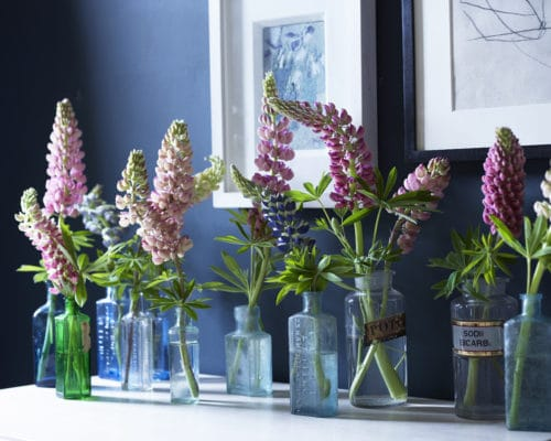 willow crossley lupines