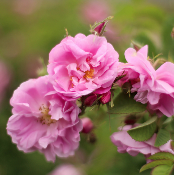 source of cosmetic-grade rosewater source, Rose de Mai