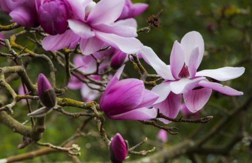 winter magnolias