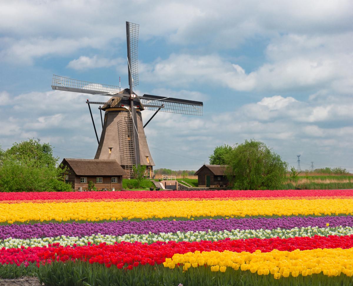 tulip field, Dutch windmills