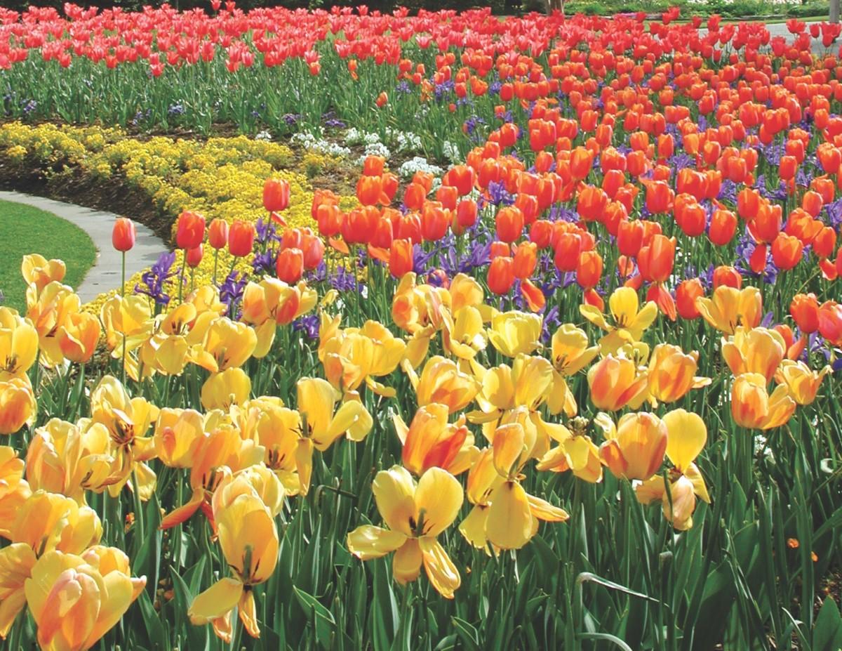 tulip flower bed