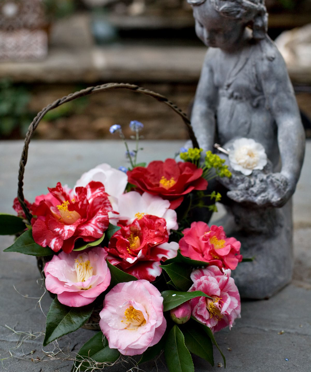 a basket arrangement of camellia varieties ranging from pale to dark pink, with solid and variegated petals