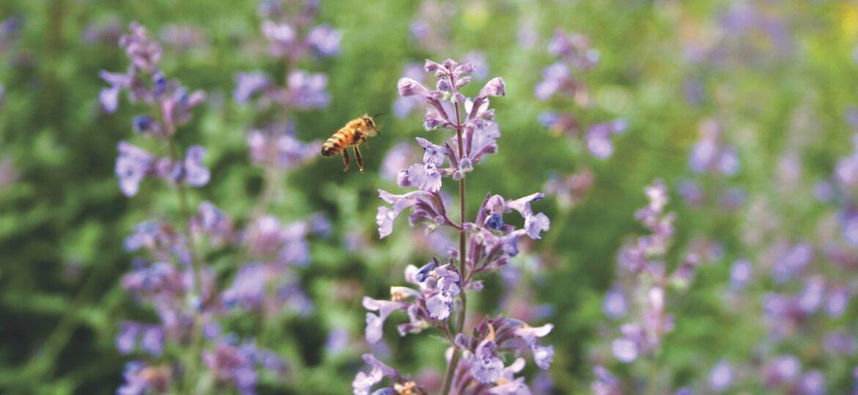 backyard beekeeping, lavender