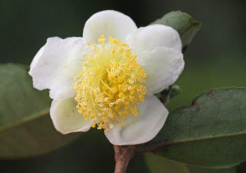camellia varieties