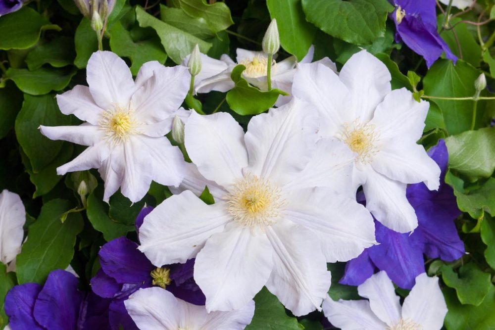 ray evison clematis expert