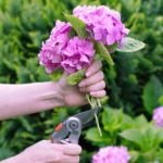 how to cut hydrangeas for arrangements