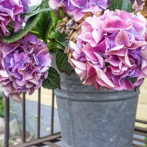 hydrangea flowers hydrated