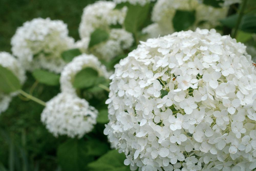 hydrangea flowers, garden hydrangeas