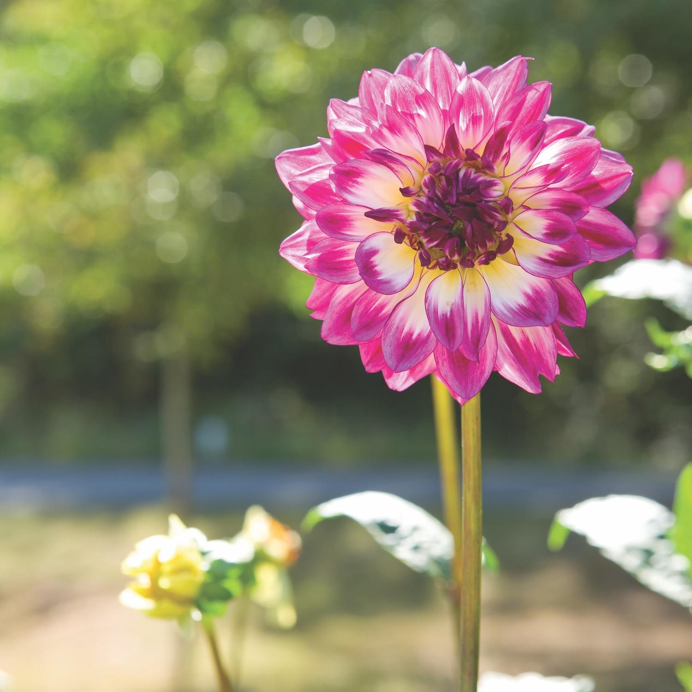 Dramatic Dahlia Flowers Flower Magazine