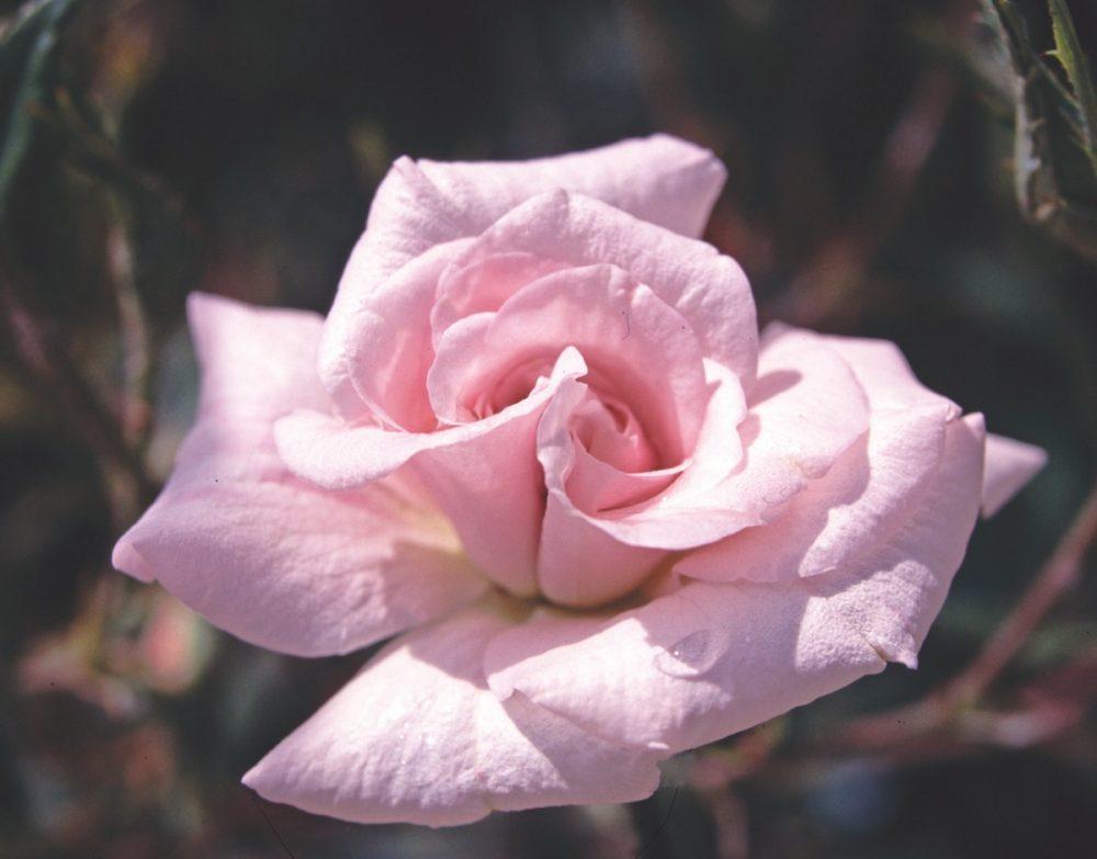 rosa mystica, rose boutonniere