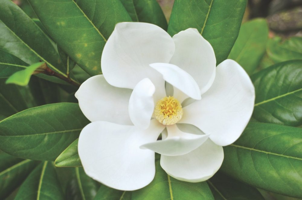 southern magnolia flowers
