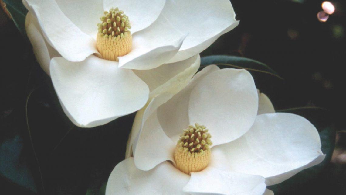 magnolia, night garden