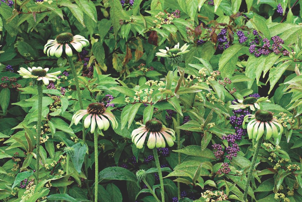 coneflower varieties, green coneflowers