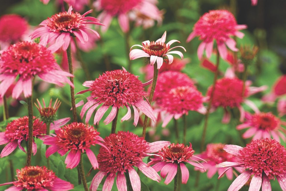 coneflower varieties, pink coneflowers