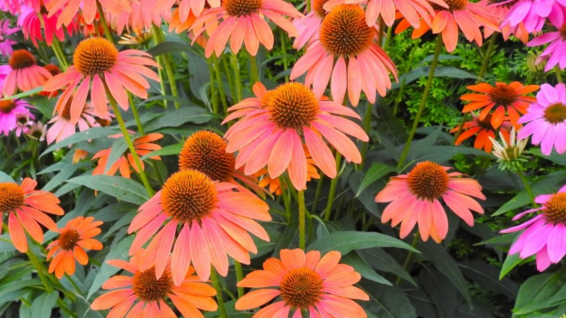 coneflower varieties