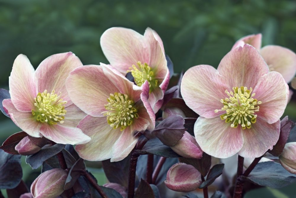 helleborus lenten rose care