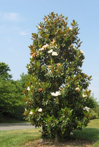 planting magnolia trees, southern magnolia flowers