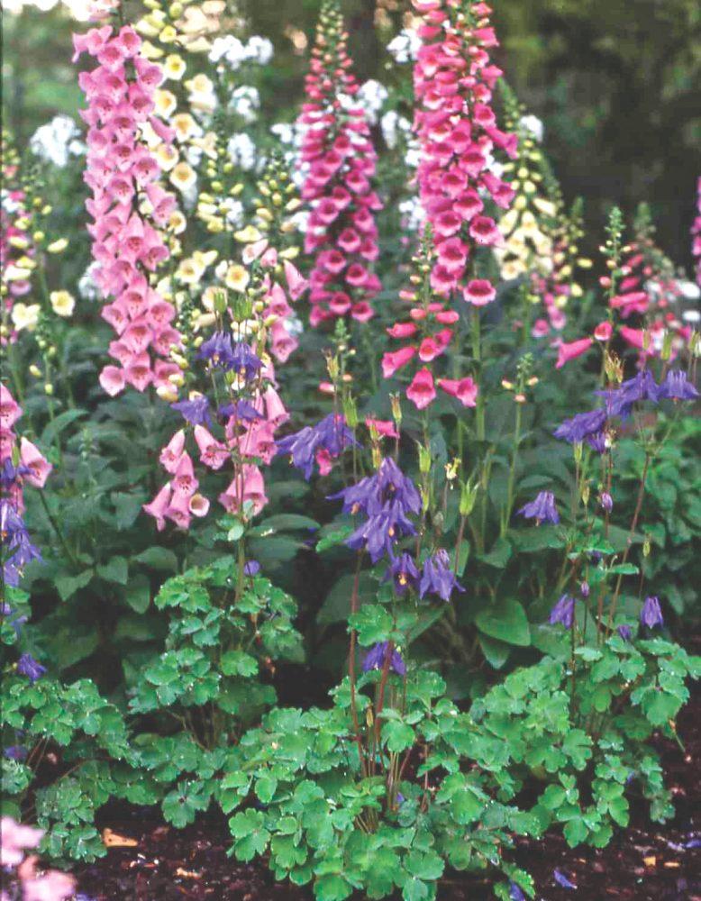 foxglove companion plants