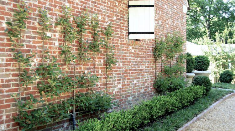 how to espalier apple trees, espalier fruit trees