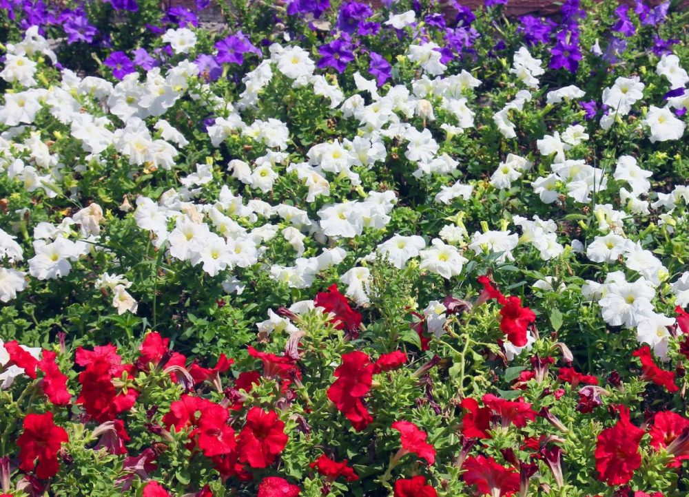 red white and blue flower garden