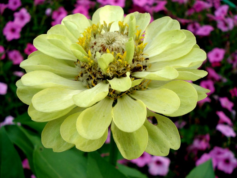 zinnia varieties, zinnia flowers, growing zinnias