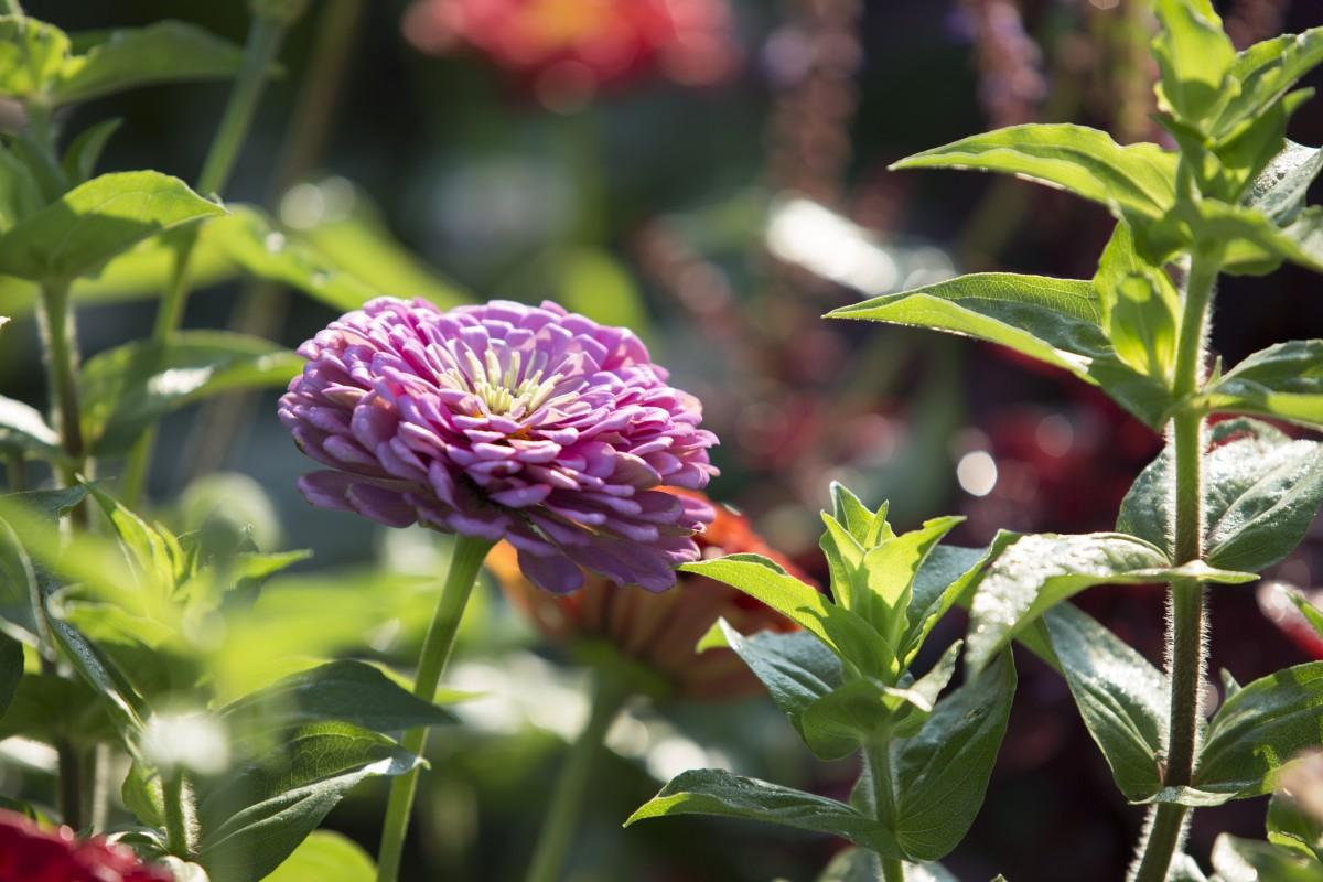 purple zinnia bloom in the garden