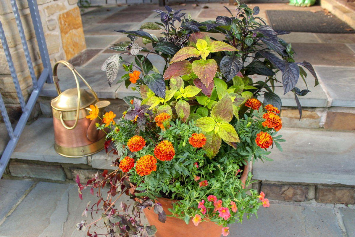 fall garden container featuring 'Hot Pak Harmony', one of the types of French marigolds