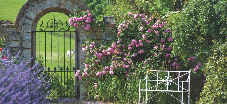 David Austin Roses, Constance Spry rose