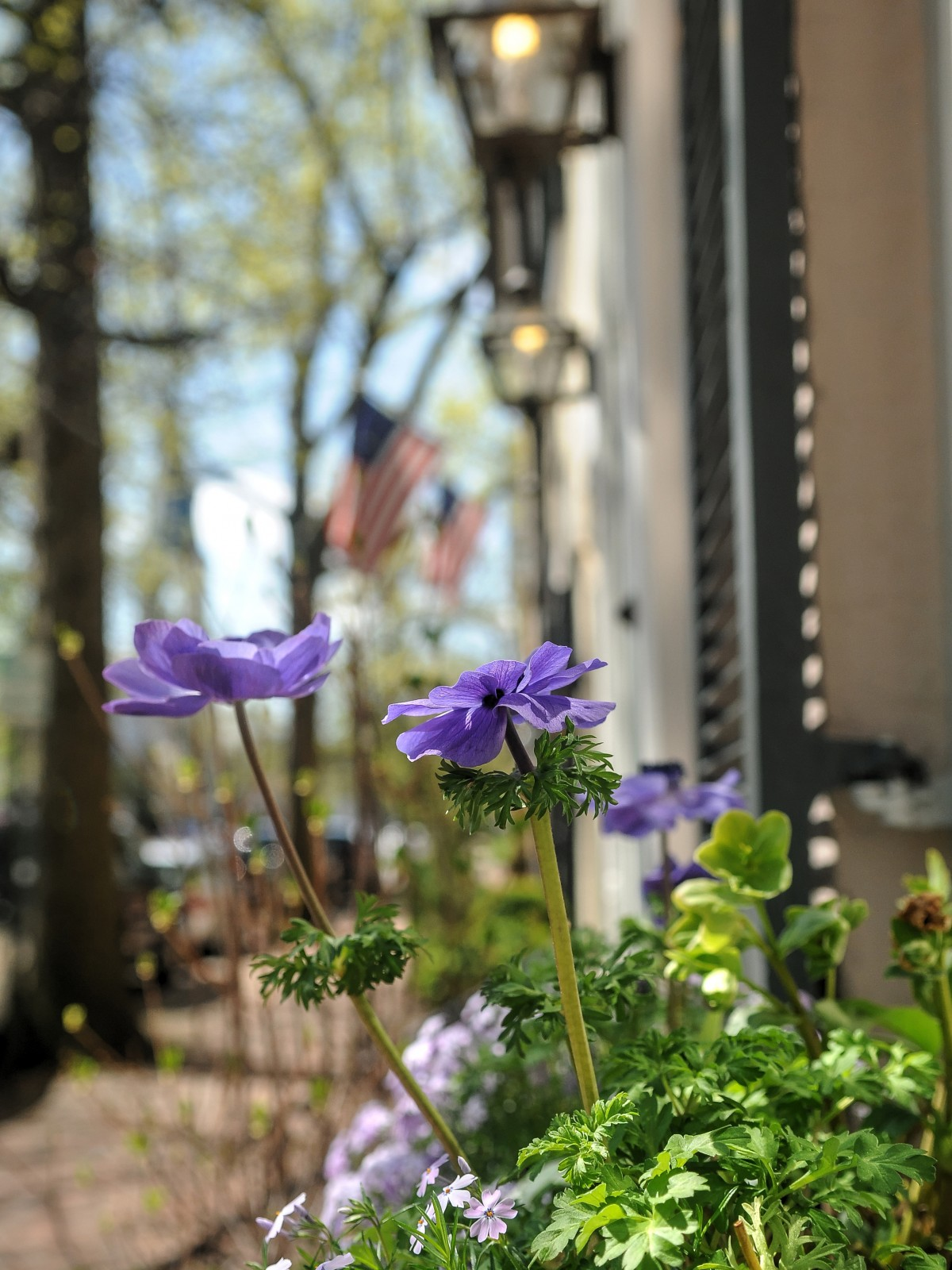 anemone blooms in window box on the Historic Garden Week Tour stop in Tour stop at Old Town Alexandria