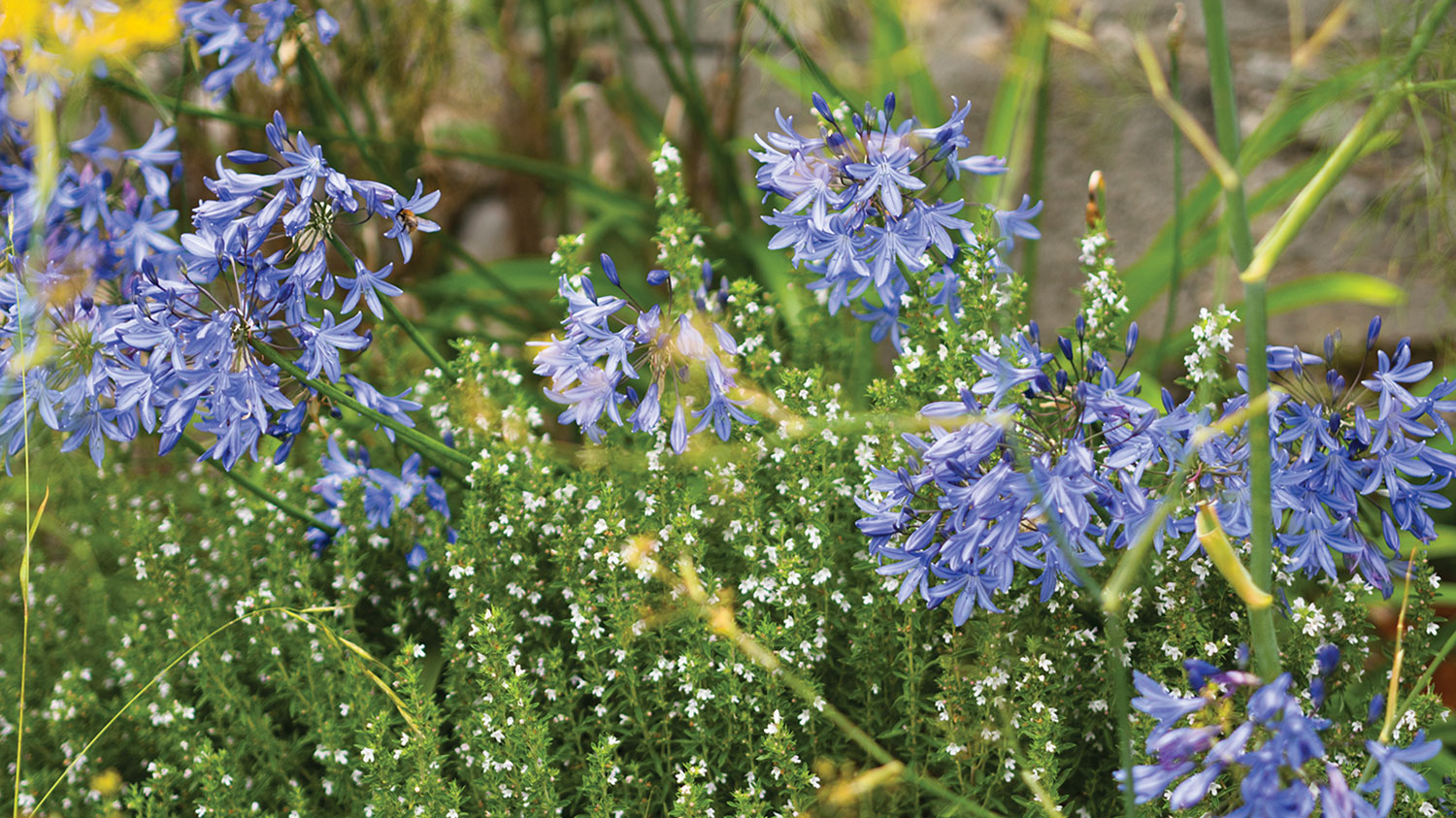 Photo of blooming blue agapanthus interplanted with an herbaceous plant with small white flowers