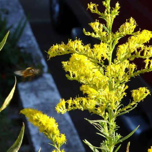A bee flies toward goldenrod abloom with bright yellow flowers in a yard that uses organic weed killer alternatives to glyphosate herbicide