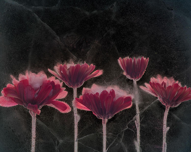Sam Stapleton's work Asters, inverted luminosity