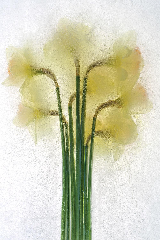 """Daffodil"" by Sam Stapleton"