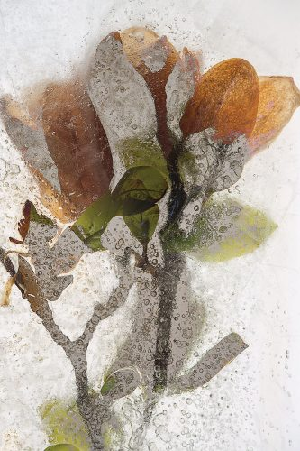 magnolias frozen in ice