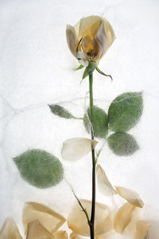 """Rose"" by Sam Stapleton"