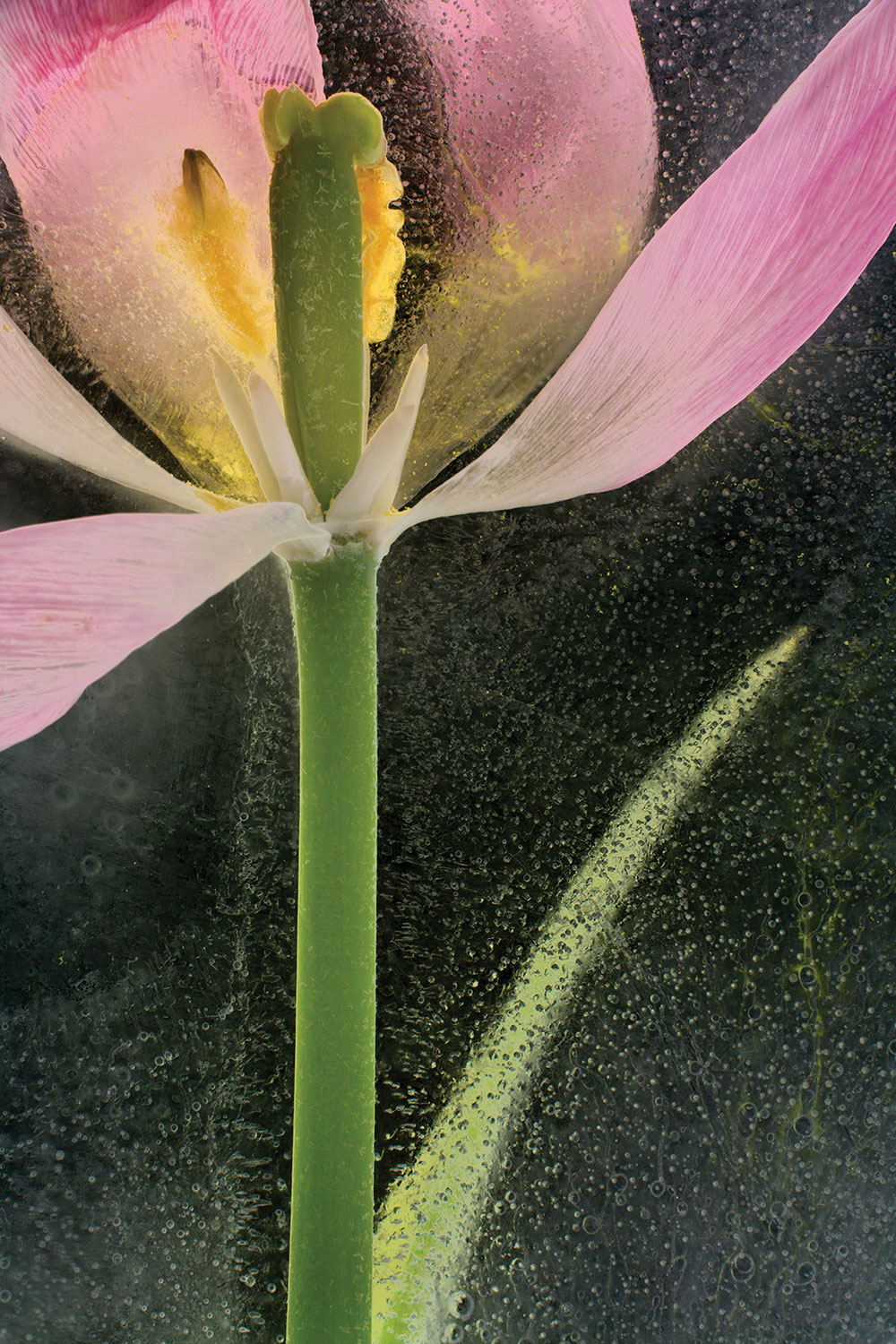 Tulip in photographed in ice, inverted luminosity